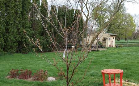 Dogwood in place